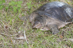 Softshell Turtle Stock Images