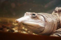 Free Softshell Turtle Underwater Stock Photography - 107025422