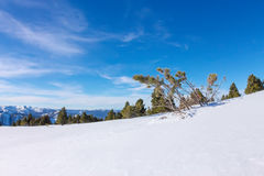 Softwoods pine trees on a mountainside in the snow in the light Stock Image