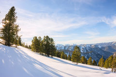 Softwoods pine trees on a mountainside in the snow in the light Royalty Free Stock Image