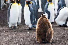 Soggiorni del pulcino dei pinguini di re Fotografia Stock