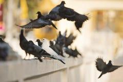 Soggiorno bianco del piccione in mezzo ai piccioni nero-grigi che pilotano ou Fotografia Stock