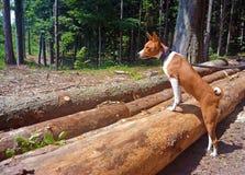 Soggiorno del cane di Basenji sul ceppo di legno e sullo sguardo lontano fotografia stock