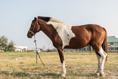 Soggiorno di corsa di cavalli che mangia erba fra la pratica dell'ogni giorno Immagine Stock