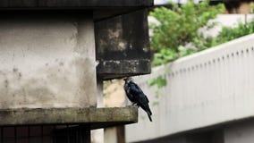 Soggiorno ed andare del corvo video d archivio