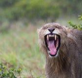 Soggy χασμουρητό λιονταριών στοκ φωτογραφία με δικαίωμα ελεύθερης χρήσης