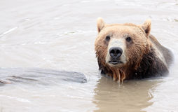 Soggy Bear Emerging from Lake Royalty Free Stock Photo