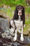 Soggy doggy Stock Photography