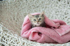 Soggy kitten after a bath Royalty Free Stock Images