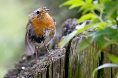 Soggy Robin Royalty Free Stock Image