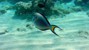 Sogh kirurgfisk i det röda havet Royaltyfria Bilder