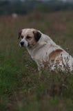 Sognando il cane del vagabondo che guarda a sinistra Fotografie Stock Libere da Diritti