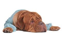Sognando sguardo di menzogne del cane in su immagine stock