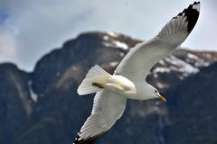 海鸥/Sognefjorden 库存照片