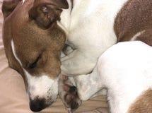 Sogni dolci di sonno dell'amico dell'animale domestico del cane del terrier di Jack Russel immagini stock libere da diritti