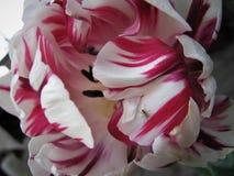 Sogni luminosi Tulipano Immagine Stock