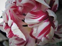 Sogni luminosi Tulipano Fotografia Stock Libera da Diritti
