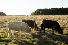 Sogno del cowboy Fotografie Stock Libere da Diritti