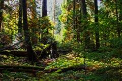 Sogno della foresta Fotografie Stock