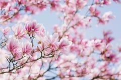 Sogno della magnolia Fotografie Stock Libere da Diritti