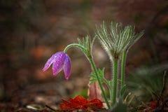 Sogno-erba, fiore della molla, delicato e bello Fotografia Stock