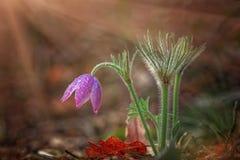 Sogno-erba, fiore della molla, delicato e bello Fiore della primavera nel fuoco molle Fotografie Stock Libere da Diritti