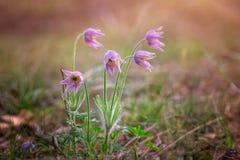 Sogno-erba, fiore della molla, delicato e bello Fiore della primavera nel fuoco molle Immagini Stock Libere da Diritti