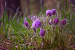 Sogno-erba, fiore della molla, delicato e bello Fiore della primavera nel fuoco molle Immagini Stock