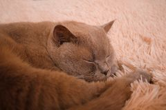 Sogno pacifico del ` s del gatto Immagine Stock Libera da Diritti