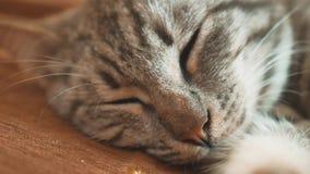 Sogno perfetto del gatto a strisce del gatto di sonno gatto che dorme nella coperta, fuoco selettivo animale domestico di sonno d archivi video