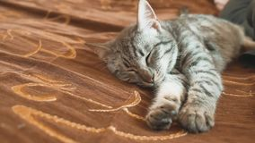 Sogno perfetto del gatto a strisce del gatto di sonno gatto che dorme nella coperta, fuoco selettivo concetto dell'animale domest video d archivio