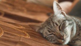 Sogno perfetto del gatto a strisce del gatto di sonno gatto che dorme nella coperta, fuoco selettivo di stile di vita Animale dom video d archivio
