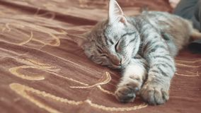 Sogno perfetto del gatto a strisce del gatto di sonno gatto che dorme nella coperta, fuoco selettivo stile di vita dell'animale d archivi video