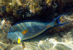 Sohal fish. Belongs to the family Acanthuridae. The shot was done on the coral reefs near Eilat city, Israel Stock Photos