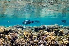 Sohal Schwimmen Sohal-Surgeonfish Acanthurus im seichten Wasser Stockfoto