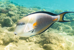 Sohal surgeon-fish. Red Sea. Egypt Stock Images