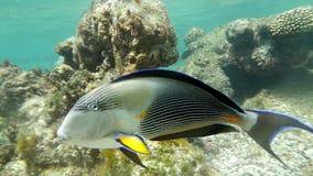 Sohal Surgeon-Fish stock video