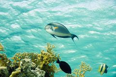 Sohal surgeonfish Stock Photography