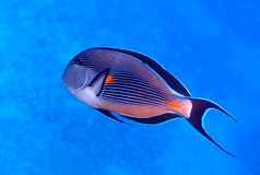 Sohal surgeonfish Royalty Free Stock Images