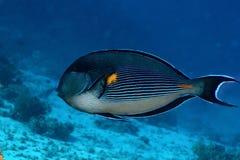 Sohal Surgeonfish Lizenzfreie Stockfotos