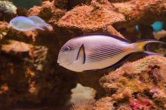 Sohal surgeonfish Στοκ φωτογραφία με δικαίωμα ελεύθερης χρήσης
