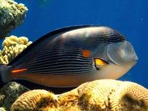 Sohal surgeonfish Arkivfoto