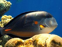 Sohal surgeonfish Zdjęcie Stock