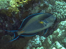 sohal surgeonfish Arkivbild