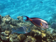 Sohal surgeonfish Stock Image