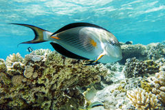 Sohal surgeonfish (Acanthurus sohal) με την κοραλλιογενή ύφαλο Στοκ Φωτογραφία