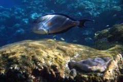 Sohal surgeonfish (acanthurus sohal) Stock Images
