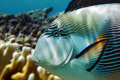 Sohal surgeonfish (Acanthurus sohal) close up with coral reef Red Sea Egypt Royalty Free Stock Photo