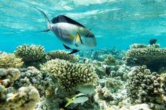 Sohal surgeonfish (Acanthurus sohal) with coral reef Stock Photos