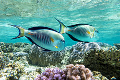 Sohal surgeonfish (Acanthurus sohal) with coral reef Stock Photos